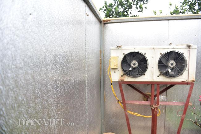 Đào cổ giá hàng chục triệu ngủ đông trong phòng điều hòa chờ Tết-4