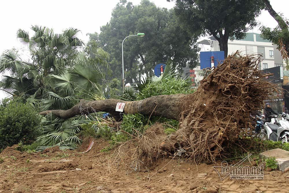 Hà Nội khai tử hàng cây đẹp nhất ven sông Tô Lịch-3