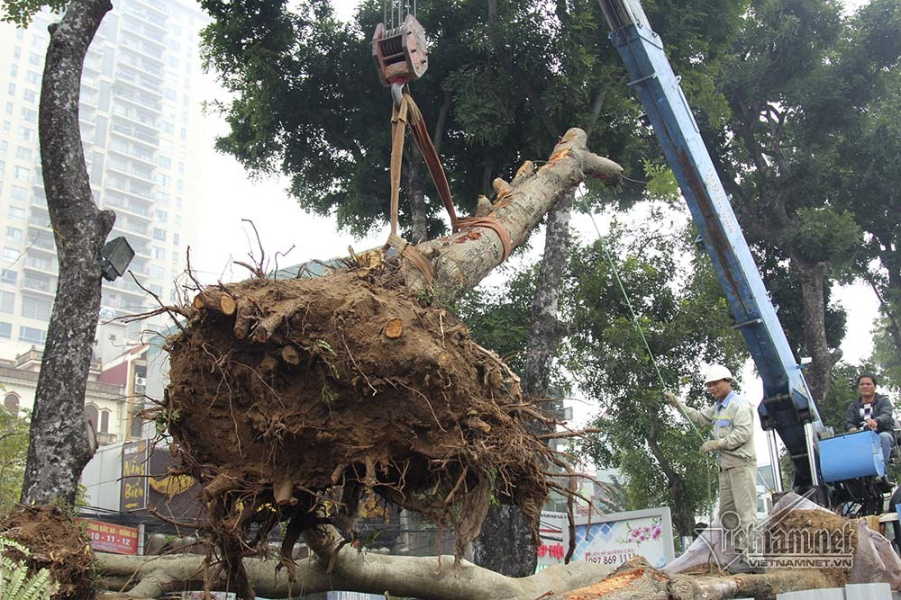 Hà Nội khai tử hàng cây đẹp nhất ven sông Tô Lịch-10