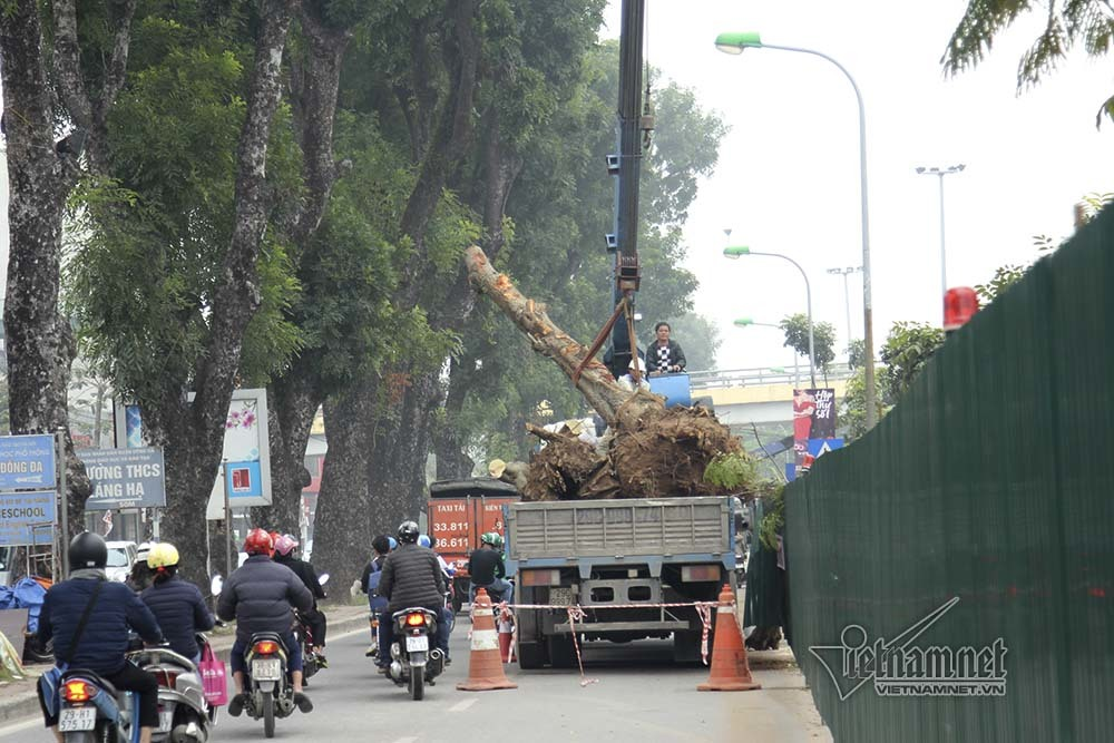 Hà Nội khai tử hàng cây đẹp nhất ven sông Tô Lịch-11