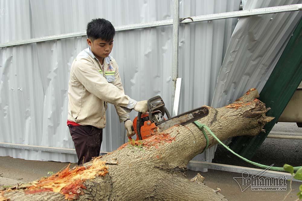 Hà Nội khai tử hàng cây đẹp nhất ven sông Tô Lịch-8
