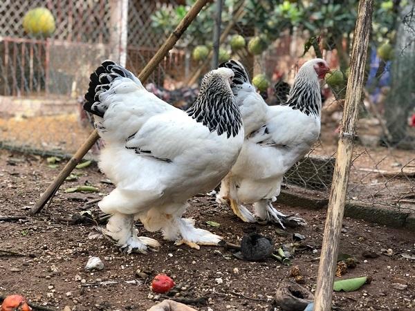 Đại gia Đài Loan sang Việt Nam: Bỏ 70 triệu mua 6 con gà khổng lồ ăn Tết-2