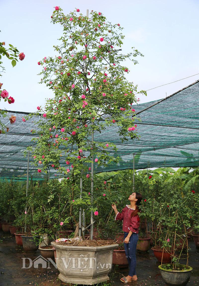 Cây hồng cổ Sapa cao hơn 5 mét giá 300 triệu-2