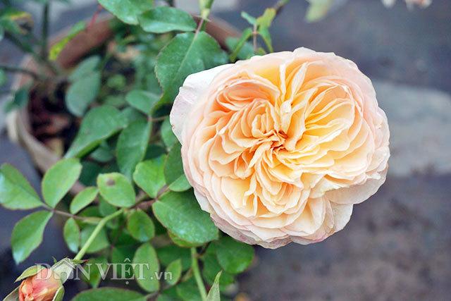 Cây hồng cổ Sapa cao hơn 5 mét giá 300 triệu-5