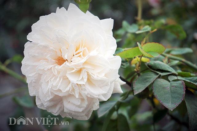 Cây hồng cổ Sapa cao hơn 5 mét giá 300 triệu-6
