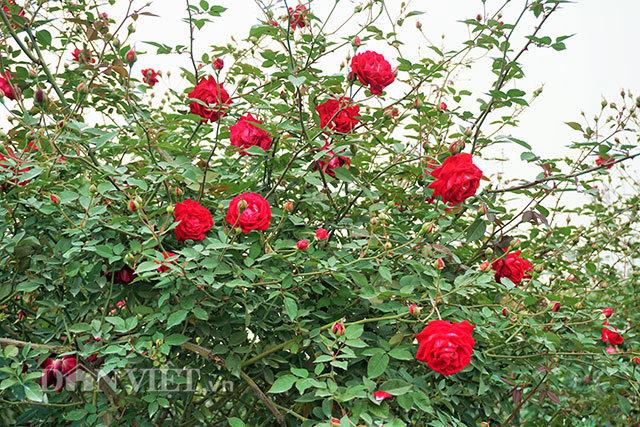 Cây hồng cổ Sapa cao hơn 5 mét giá 300 triệu-7