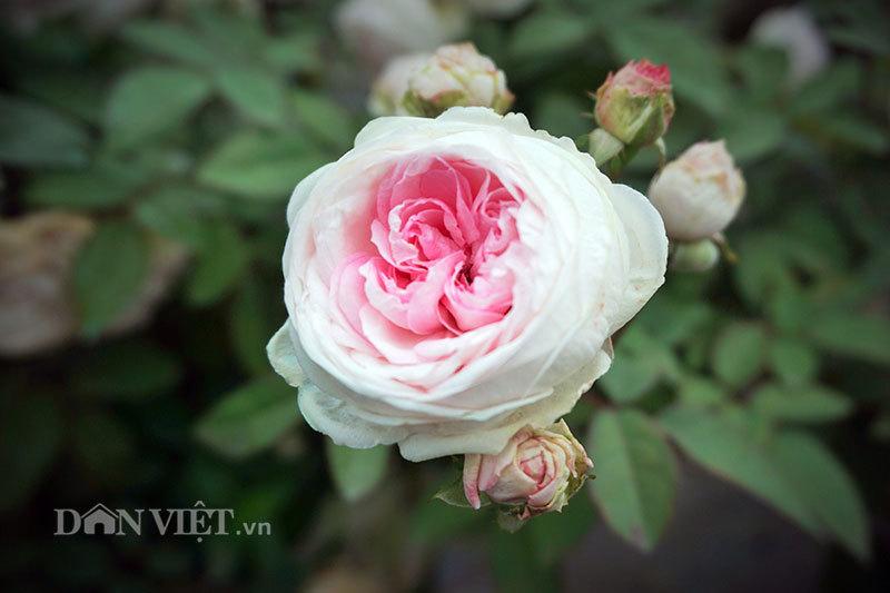 Cây hồng cổ Sapa cao hơn 5 mét giá 300 triệu-8