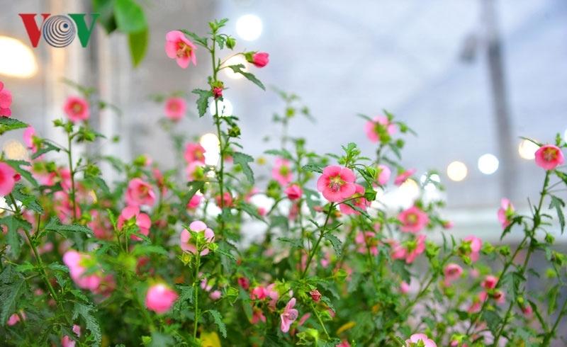 Cẩm quỳ thân gỗ - hoa lạ hút khách dịp Tết Kỷ Hợi 2019-10