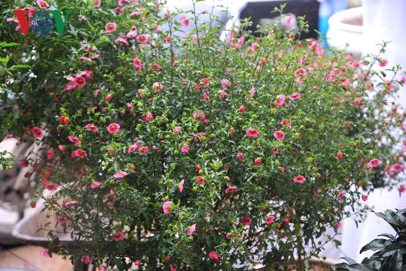 Cẩm quỳ thân gỗ - hoa lạ hút khách dịp Tết Kỷ Hợi 2019-11