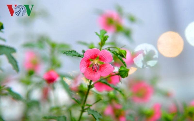 Cẩm quỳ thân gỗ - hoa lạ hút khách dịp Tết Kỷ Hợi 2019-3