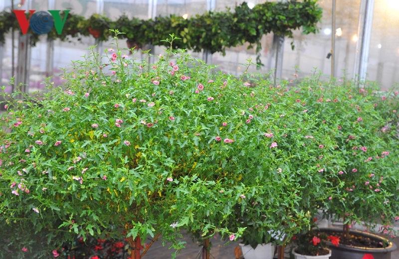Cẩm quỳ thân gỗ - hoa lạ hút khách dịp Tết Kỷ Hợi 2019-6