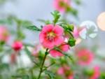 Phát sốt với vườn hoa cúc mâm xôi tuyệt đẹp ngay giữa Thủ đô-12