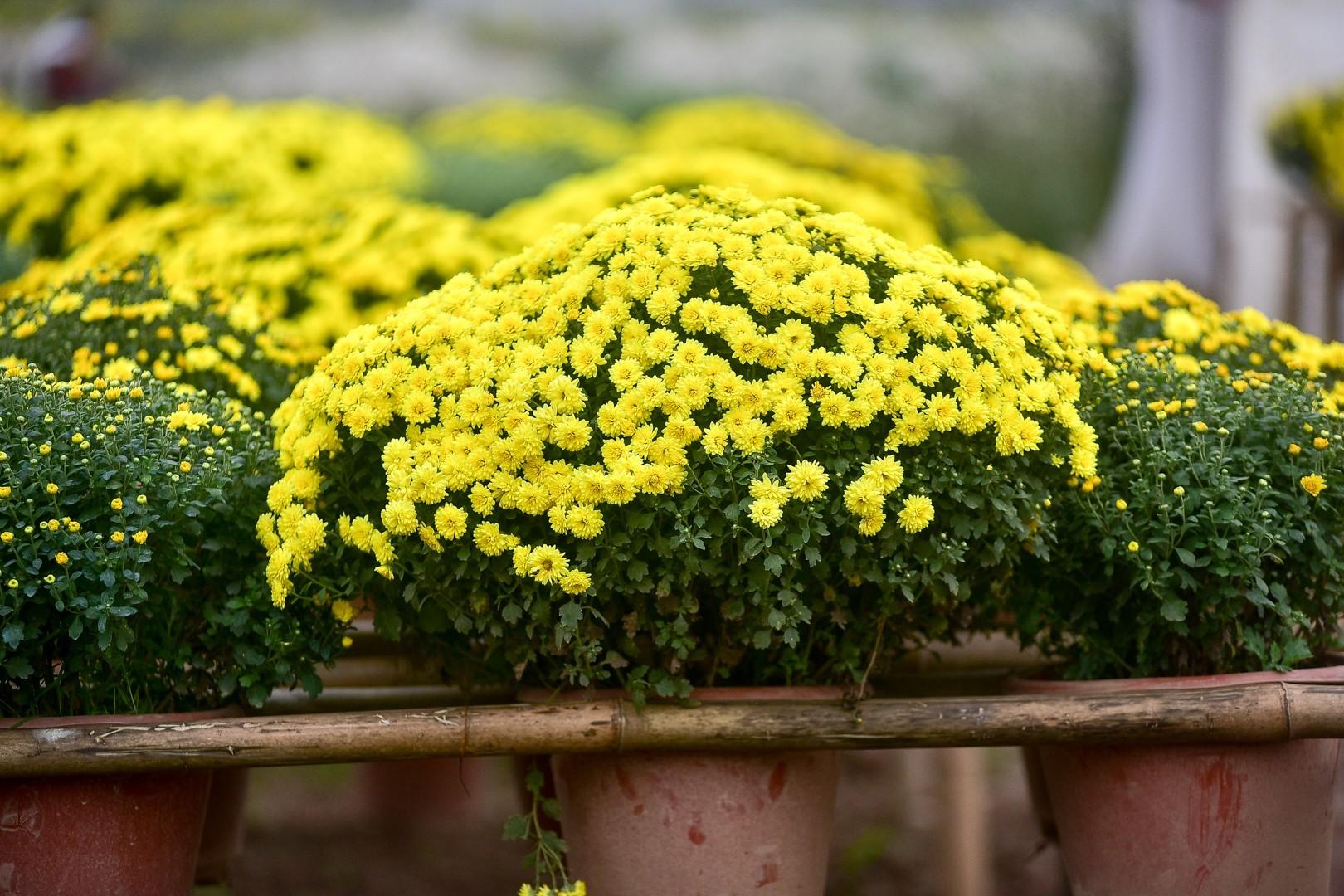 Phát sốt với vườn hoa cúc mâm xôi tuyệt đẹp ngay giữa Thủ đô-2