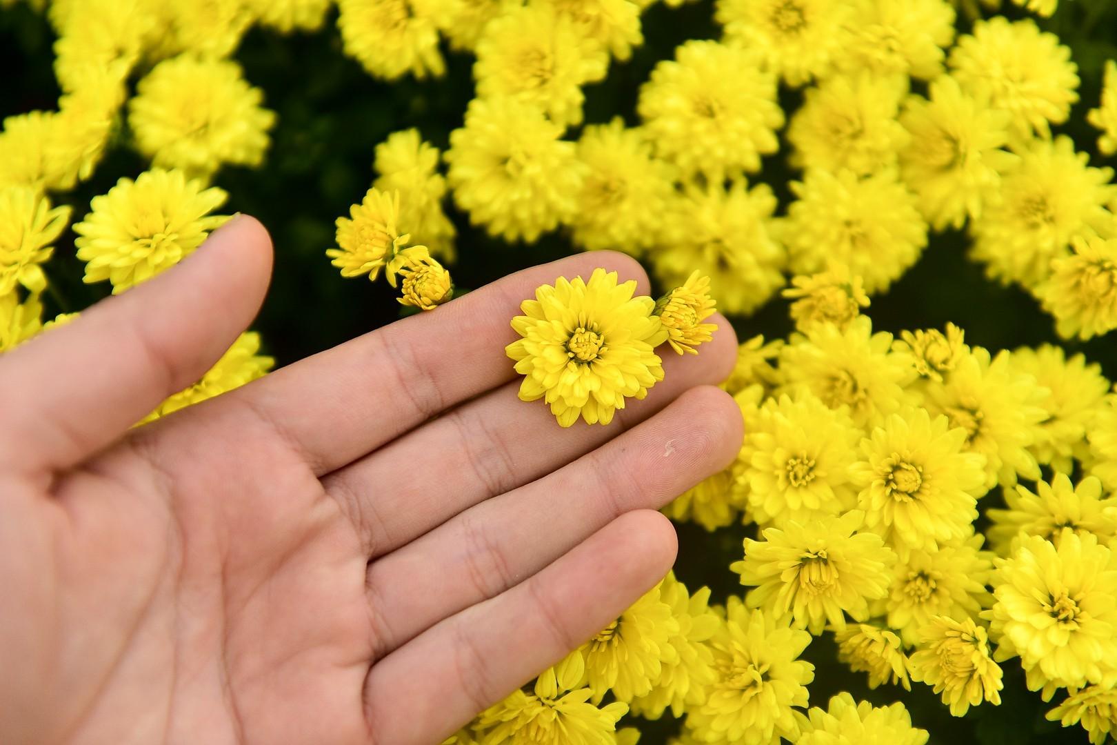Phát sốt với vườn hoa cúc mâm xôi tuyệt đẹp ngay giữa Thủ đô-3