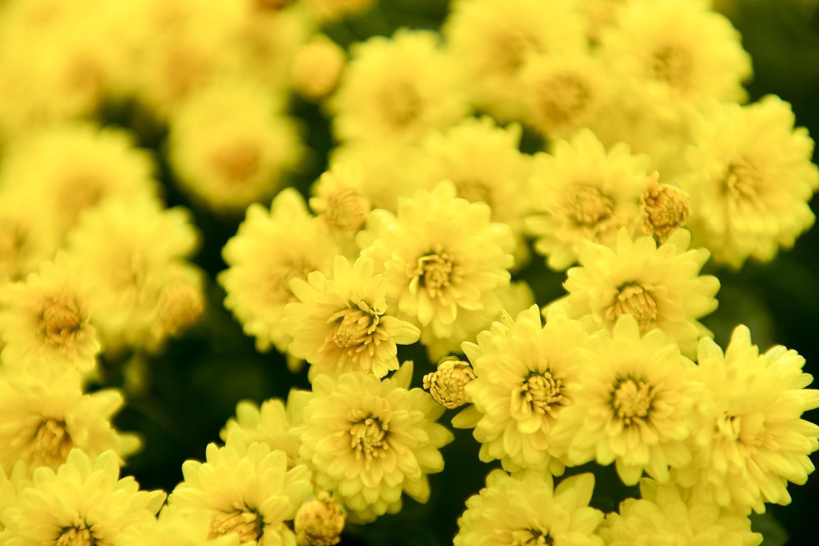 Phát sốt với vườn hoa cúc mâm xôi tuyệt đẹp ngay giữa Thủ đô-6
