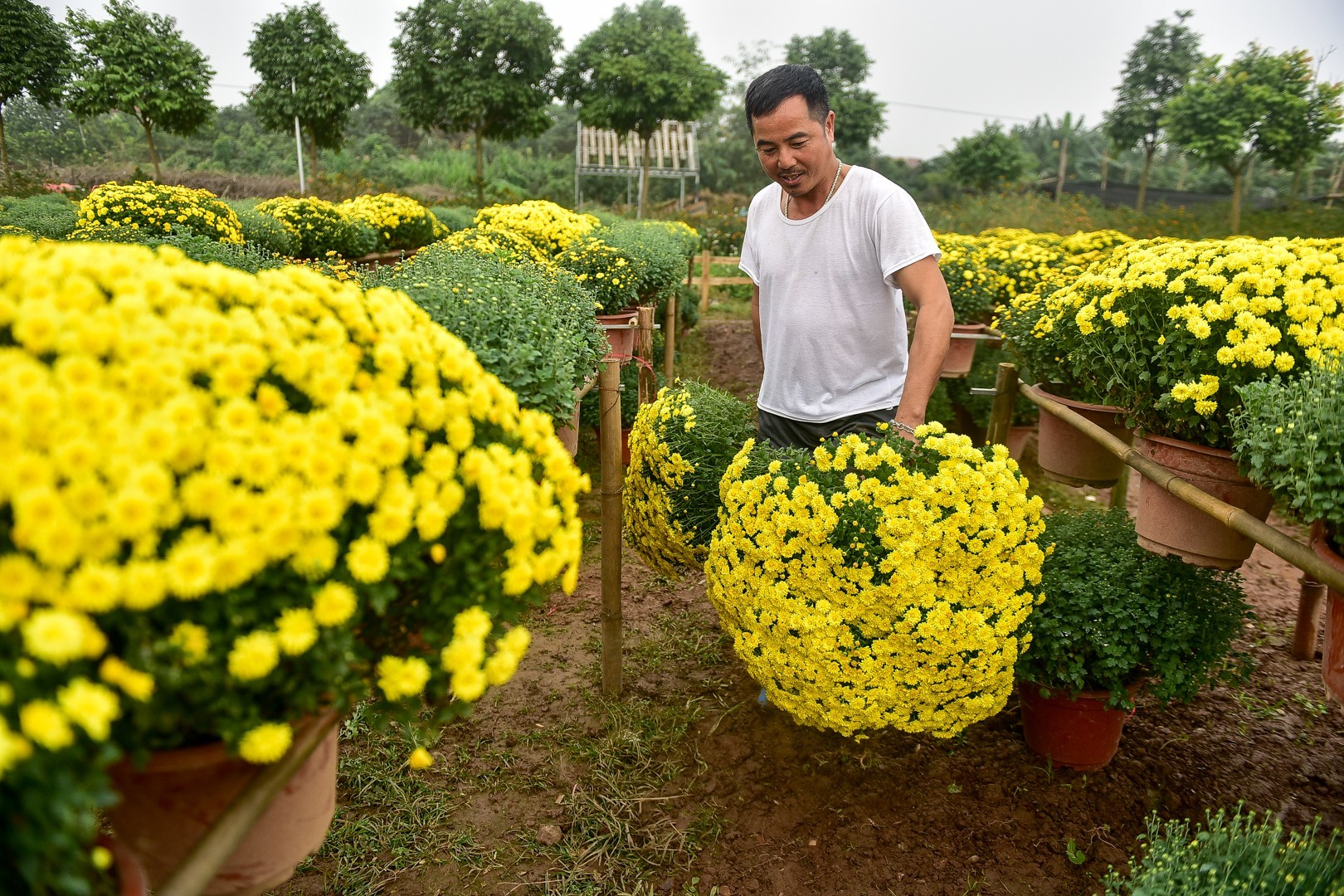 Phát sốt với vườn hoa cúc mâm xôi tuyệt đẹp ngay giữa Thủ đô-7
