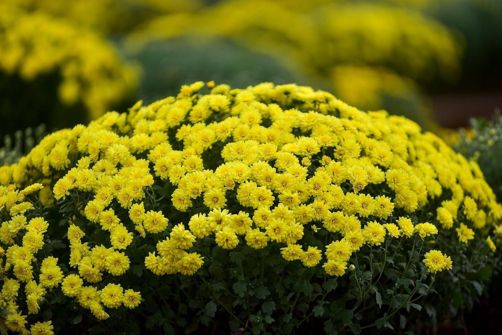 Phát sốt với vườn hoa cúc mâm xôi tuyệt đẹp ngay giữa Thủ đô-8