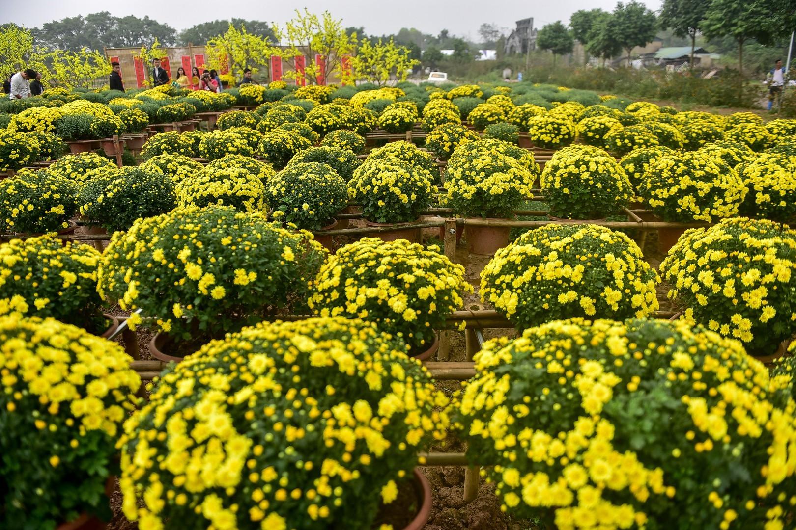 Phát sốt với vườn hoa cúc mâm xôi tuyệt đẹp ngay giữa Thủ đô-9