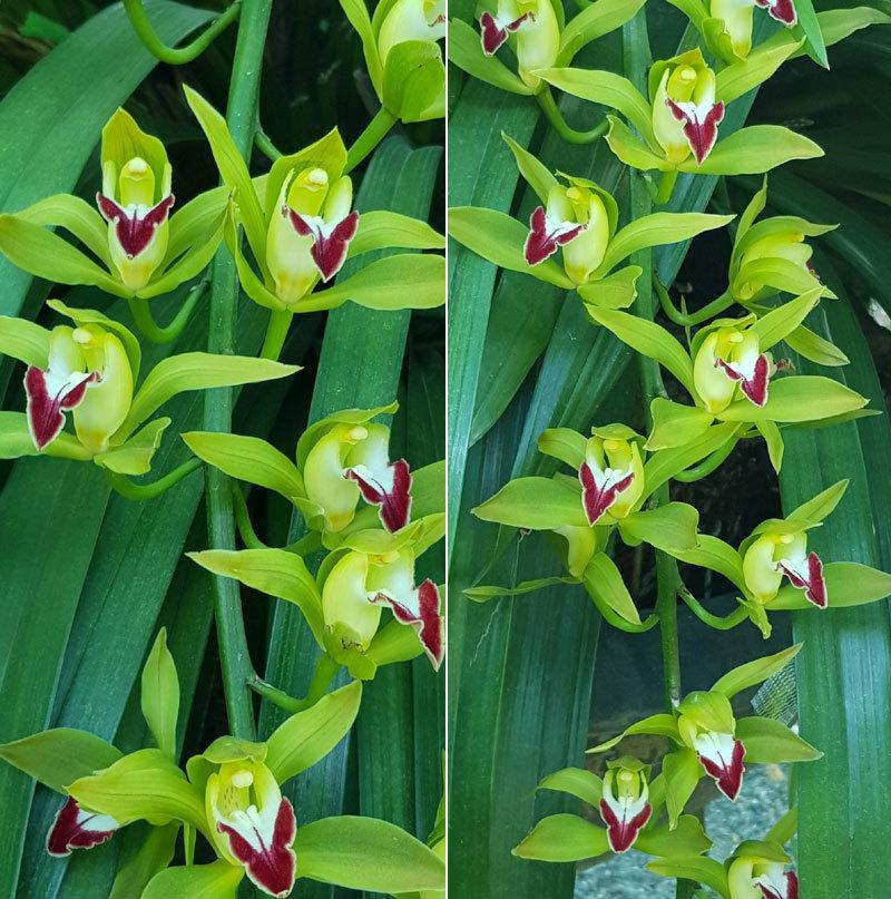 Vườn hoa lan xanh ngọc hiếm có: Anh nông dân Lào Cai thu 20 tỷ mùa Tết-3