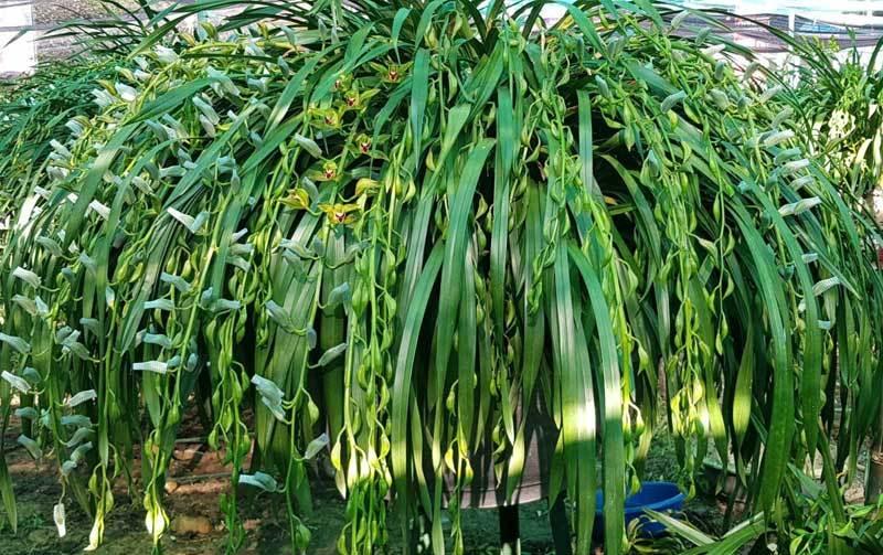 Vườn hoa lan xanh ngọc hiếm có: Anh nông dân Lào Cai thu 20 tỷ mùa Tết-4