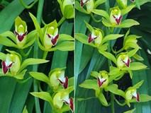 Vườn hoa lan xanh ngọc hiếm có: Anh nông dân Lào Cai thu 20 tỷ mùa Tết
