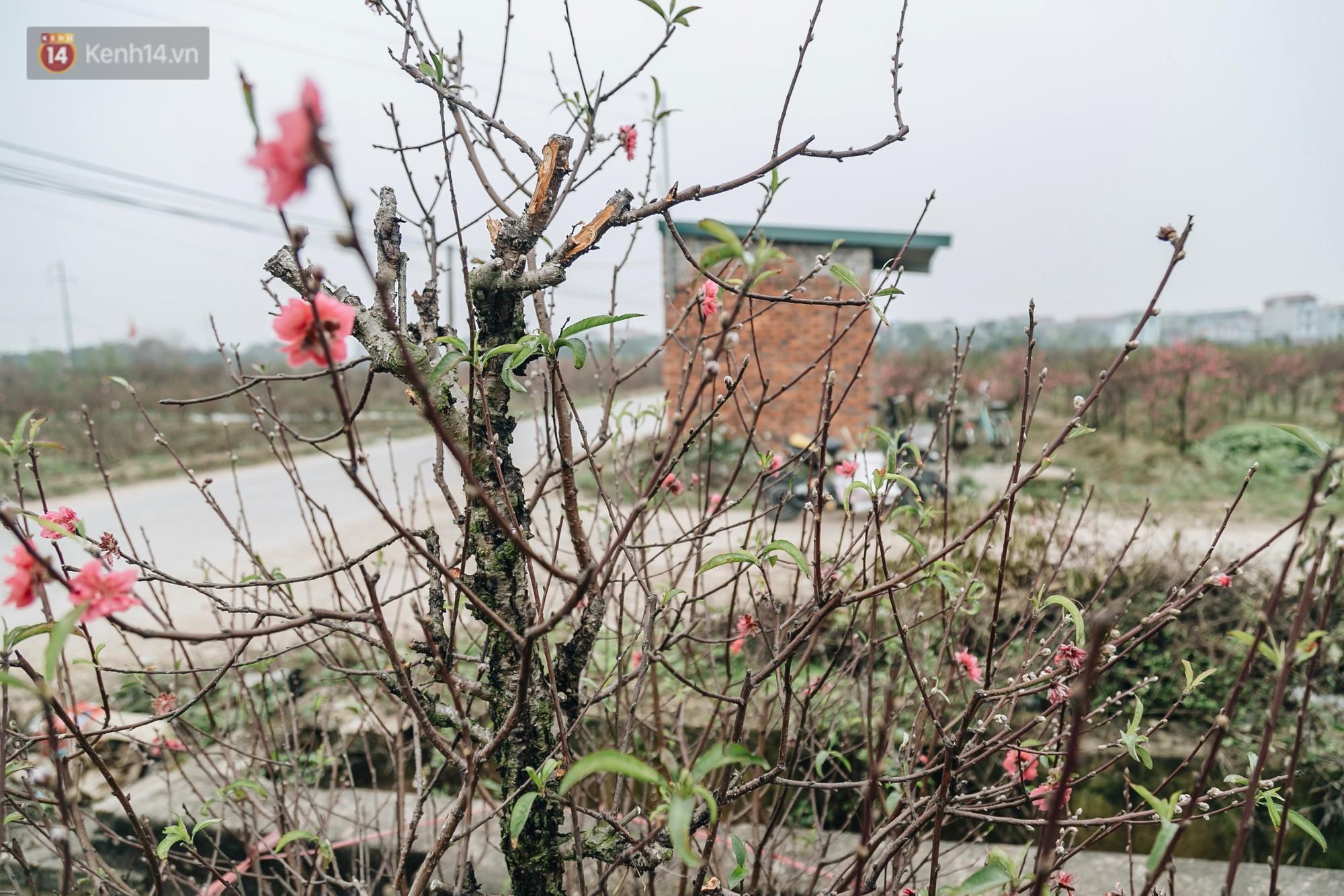 Gần 200 gốc đào của người dân Bắc Ninh bị chặt phá trong đêm: Tết năm nay còn chả có bánh chưng mà ăn-18
