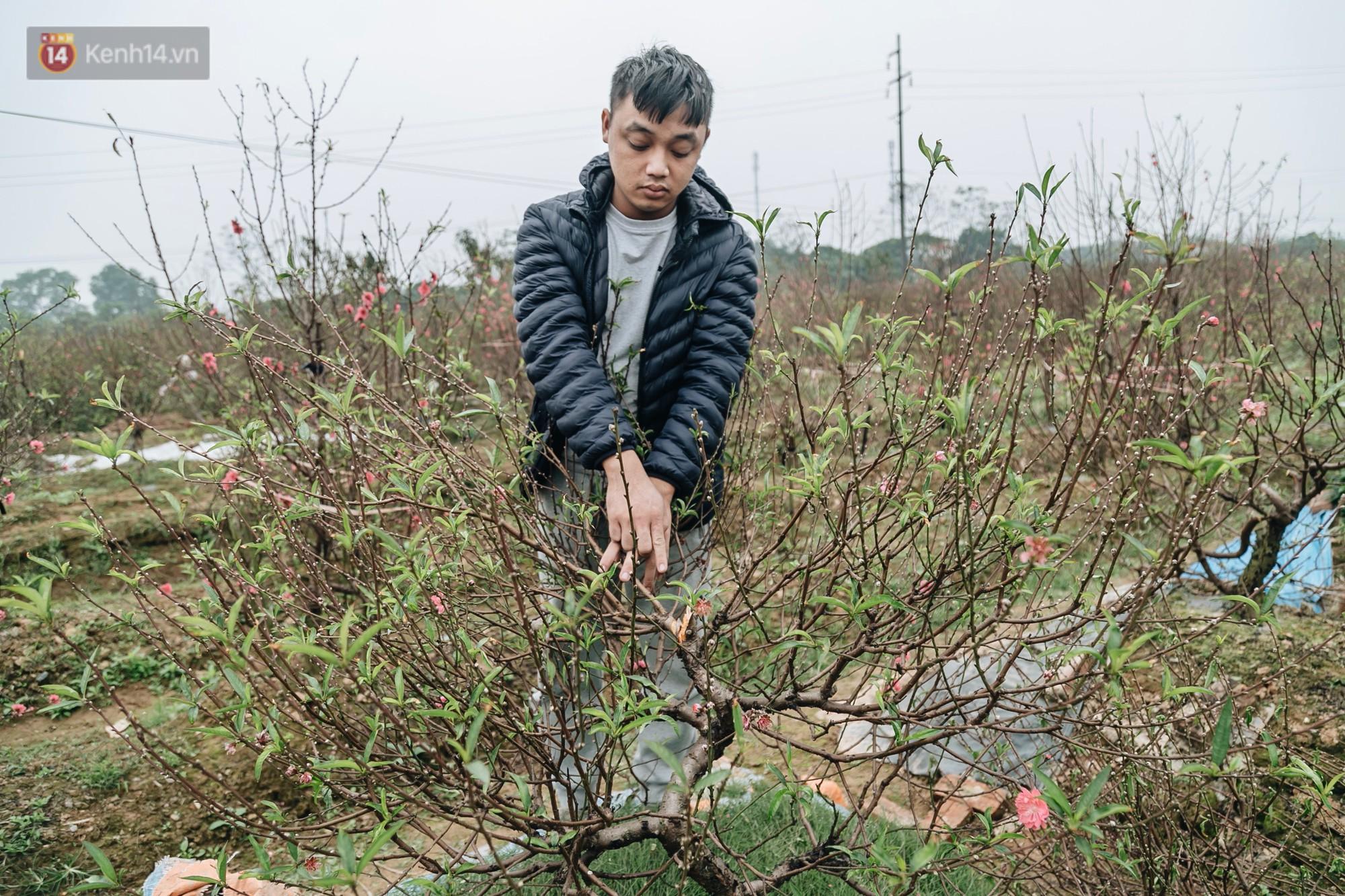 Gần 200 gốc đào của người dân Bắc Ninh bị chặt phá trong đêm: Tết năm nay còn chả có bánh chưng mà ăn-14