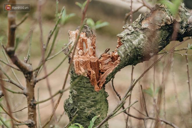 Gần 200 gốc đào của người dân Bắc Ninh bị chặt phá trong đêm: Tết năm nay còn chả có bánh chưng mà ăn-6