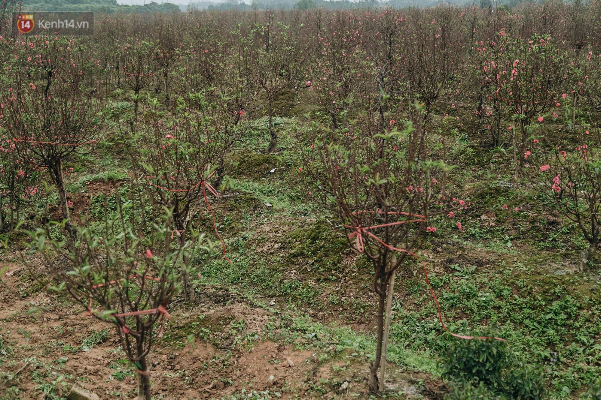 Gần 200 gốc đào của người dân Bắc Ninh bị chặt phá trong đêm: Tết năm nay còn chả có bánh chưng mà ăn-3