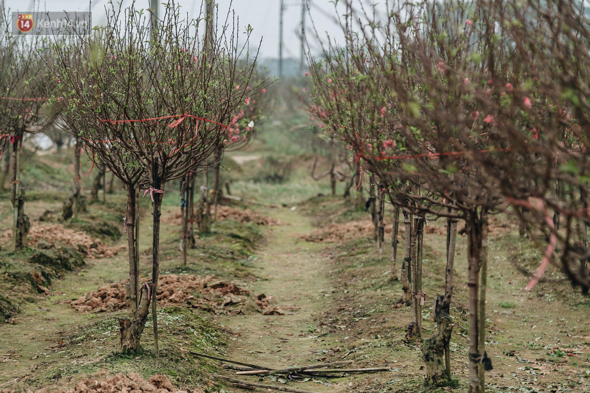 Gần 200 gốc đào của người dân Bắc Ninh bị chặt phá trong đêm: Tết năm nay còn chả có bánh chưng mà ăn-1