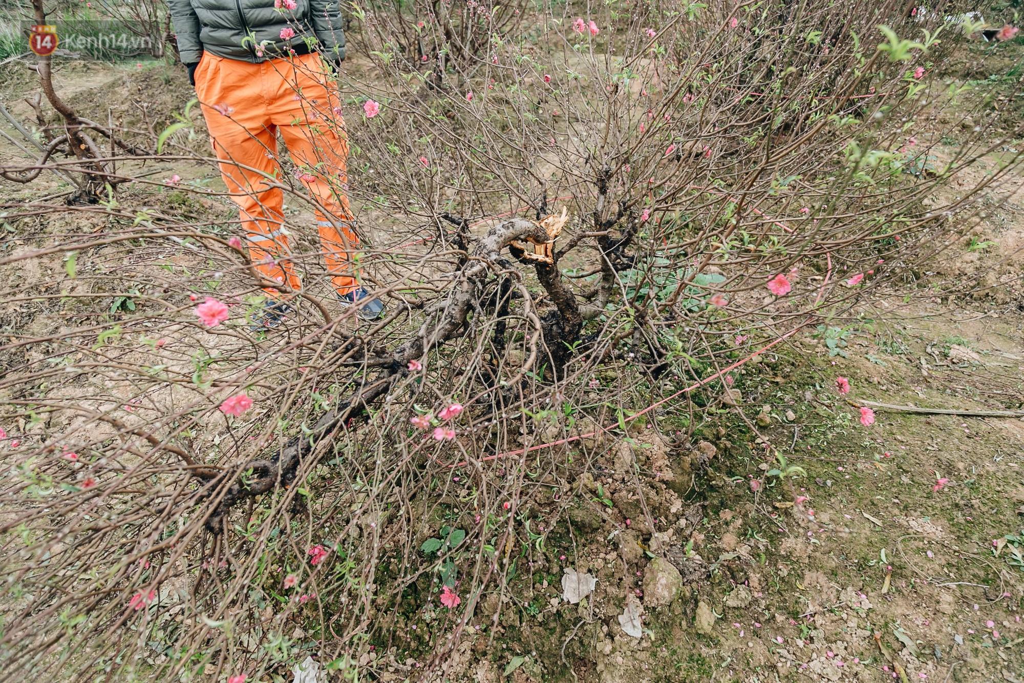Gần 200 gốc đào của người dân Bắc Ninh bị chặt phá trong đêm: Tết năm nay còn chả có bánh chưng mà ăn-10