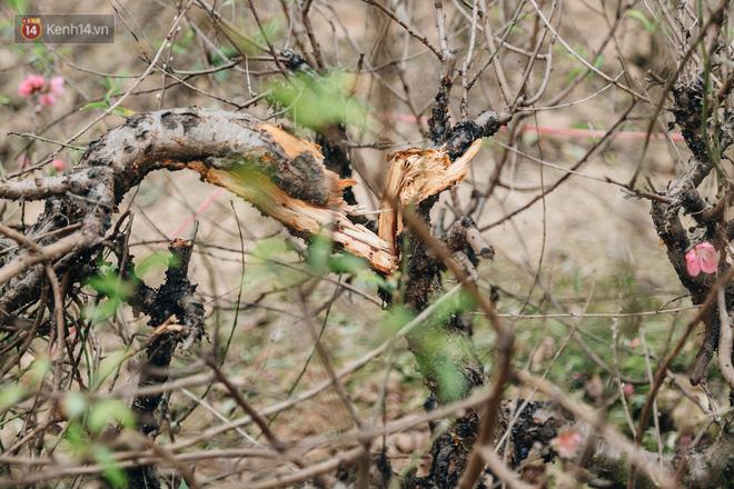 Gần 200 gốc đào của người dân Bắc Ninh bị chặt phá trong đêm: Tết năm nay còn chả có bánh chưng mà ăn-5
