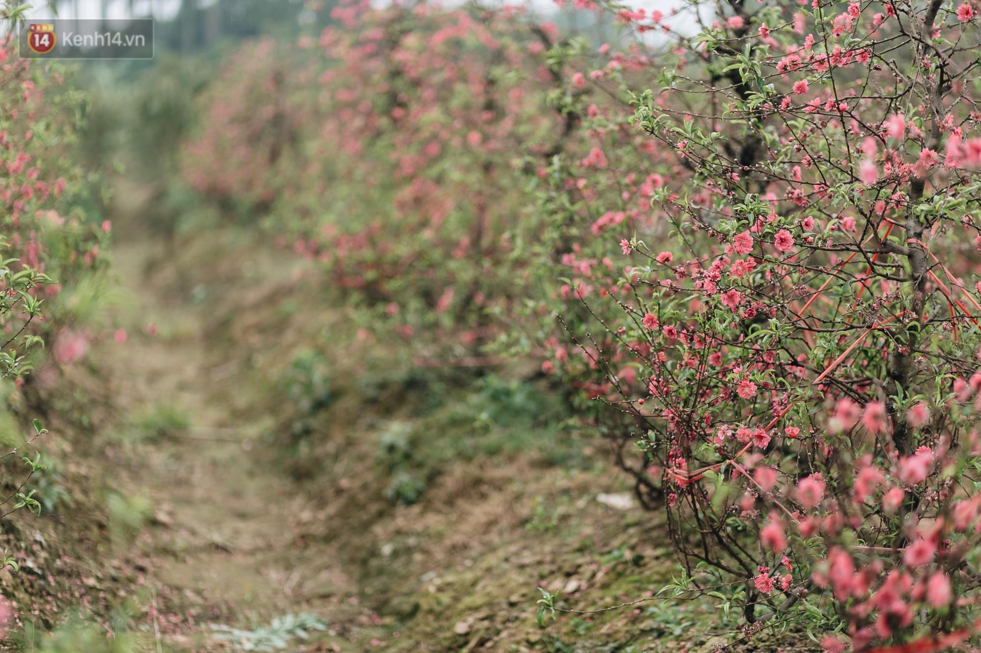 Gần 200 gốc đào của người dân Bắc Ninh bị chặt phá trong đêm: Tết năm nay còn chả có bánh chưng mà ăn-2