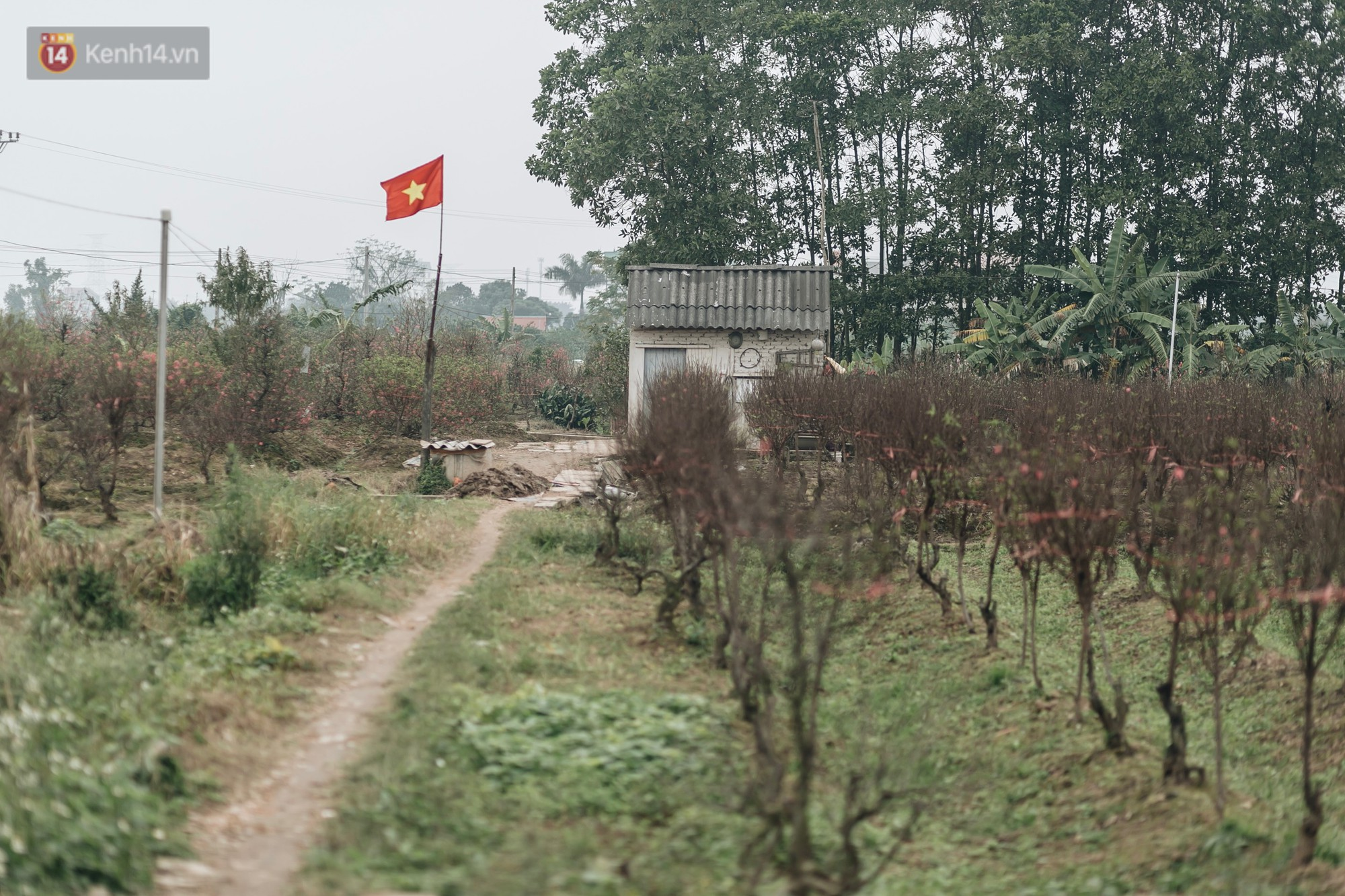 Gần 200 gốc đào của người dân Bắc Ninh bị chặt phá trong đêm: Tết năm nay còn chả có bánh chưng mà ăn-20
