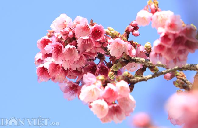 Mãn nhãn ngắm hoa anh đào nở tuyệt đẹp ở Sa Pa-4