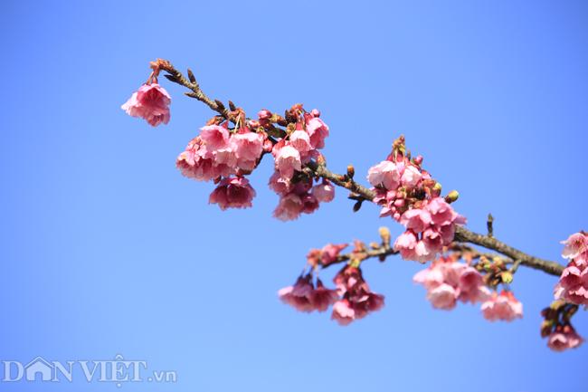 Mãn nhãn ngắm hoa anh đào nở tuyệt đẹp ở Sa Pa-5