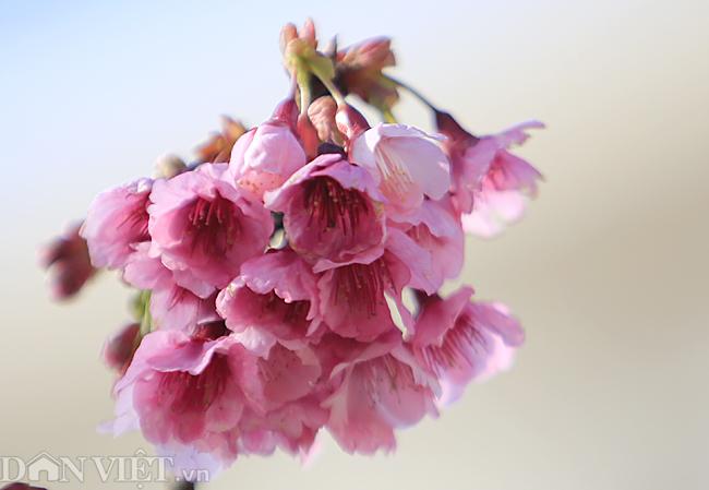 Mãn nhãn ngắm hoa anh đào nở tuyệt đẹp ở Sa Pa-6