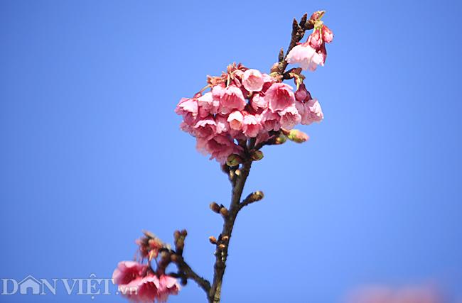Mãn nhãn ngắm hoa anh đào nở tuyệt đẹp ở Sa Pa-8