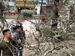 Đỗ quyên bonsai hàng độc chưng Tết giá gần tỷ trình làng Thủ đô-11