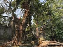 Trưởng thôn bị tố trộm cành cây sưa trăm tỷ đi bán, Chủ tịch xã khẳng định