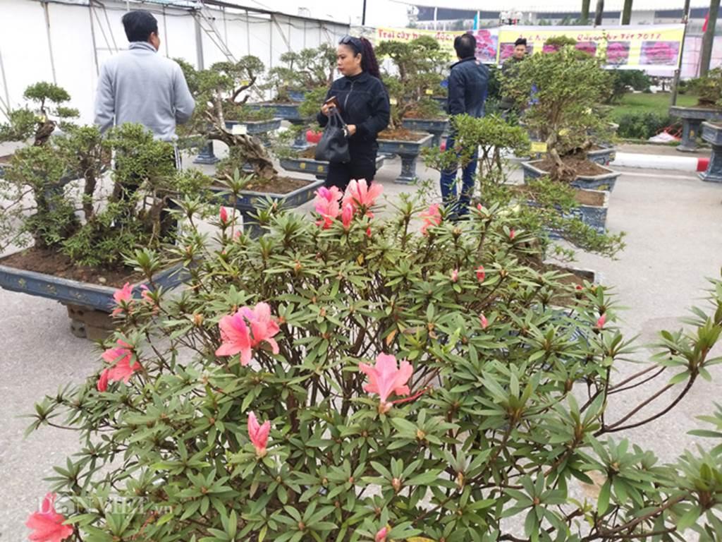 Đỗ quyên bonsai hàng độc chưng Tết giá gần tỷ trình làng Thủ đô-1