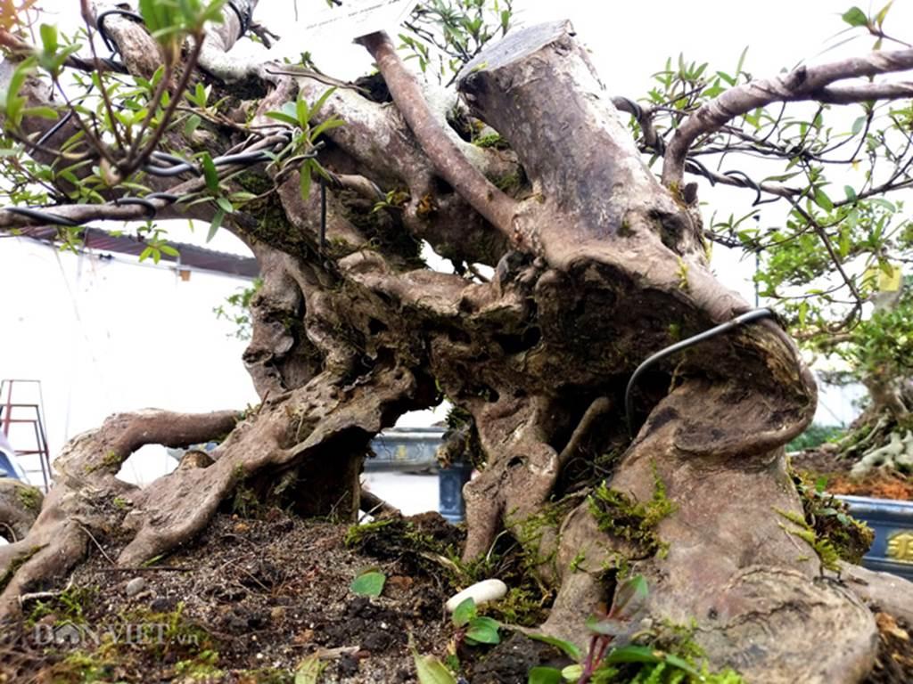 Đỗ quyên bonsai hàng độc chưng Tết giá gần tỷ trình làng Thủ đô-10