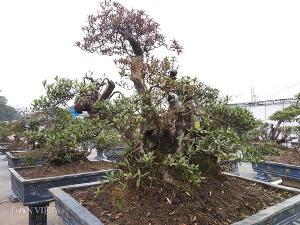 Đỗ quyên bonsai hàng độc chưng Tết giá gần tỷ trình làng Thủ đô-2