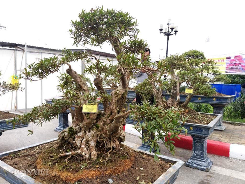 Đỗ quyên bonsai hàng độc chưng Tết giá gần tỷ trình làng Thủ đô-3