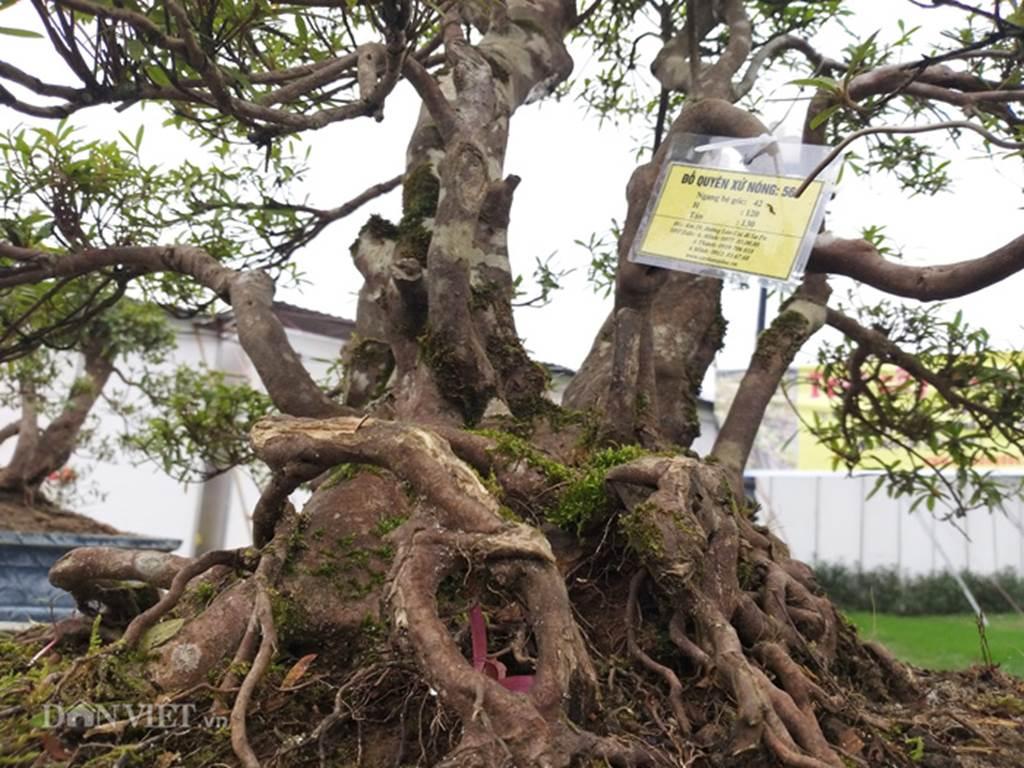 Đỗ quyên bonsai hàng độc chưng Tết giá gần tỷ trình làng Thủ đô-5