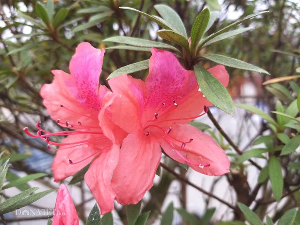 Đỗ quyên bonsai hàng độc chưng Tết giá gần tỷ trình làng Thủ đô-6