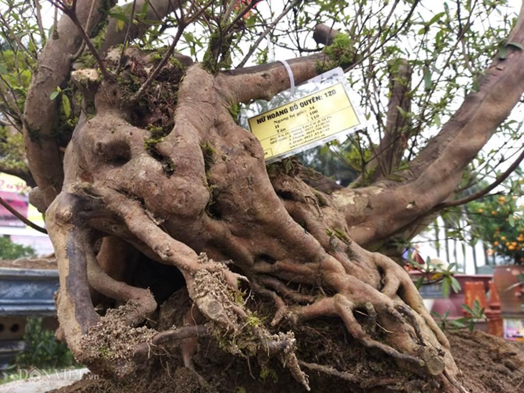 Đỗ quyên bonsai hàng độc chưng Tết giá gần tỷ trình làng Thủ đô-7