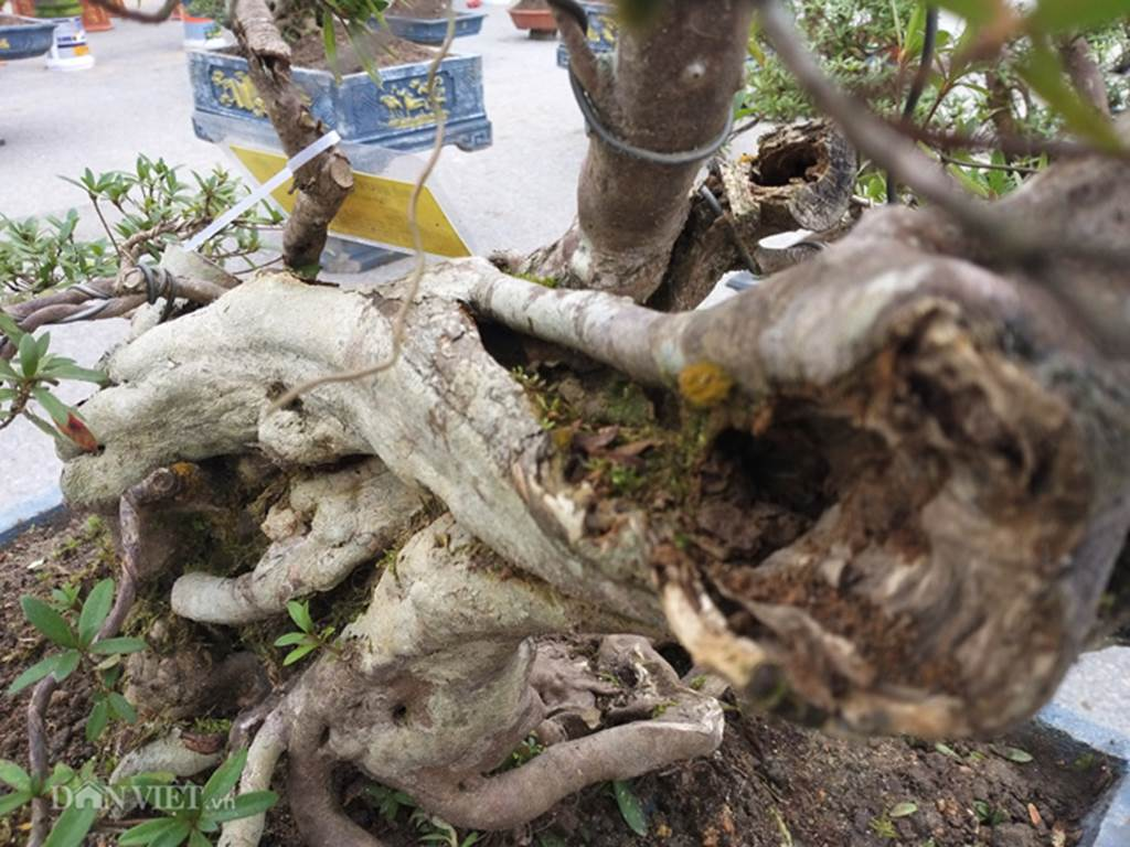 Đỗ quyên bonsai hàng độc chưng Tết giá gần tỷ trình làng Thủ đô-9
