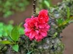 Gốc đào cổ thụ được hét giá 100 triệu ở chợ hoa Tết-9