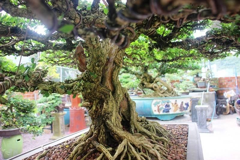Bonsai cổ thụ dáng cực lạ giá cả trăm triệu ngóng đại gia dịp Tết-11